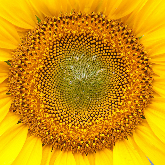 Sunflower photo by Andreas Helke